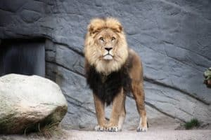 A magestic lion standing on a rock preparing kids for vacation bible school