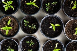 The image of seedlings growing in potted plants is an analogy for how our students grow every year at Little Flower Catholic School